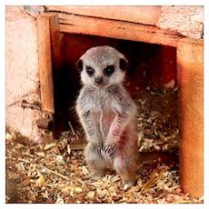 Baby Meerkat Poster