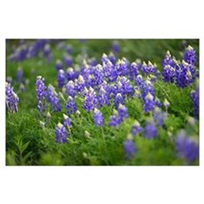 Bluebonnets Everywhere Poster