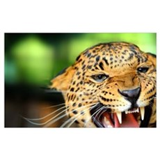 Growling Leopard Poster