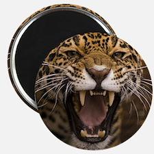 Growling Jaguar Magnets
