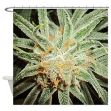 Cannabis Sativa Bud Shower Curtain
