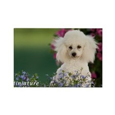 Miniature Poodle-4 Rectangle Magnet