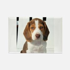 Baby Beagle Magnets