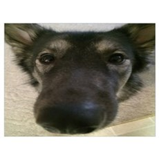 Cute nosey dog Poster