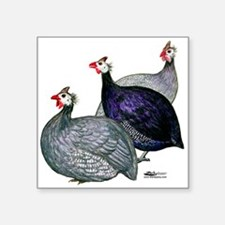 Guineas Three Sticker