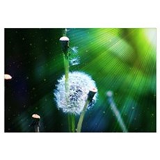 Dandelion Canvas Art