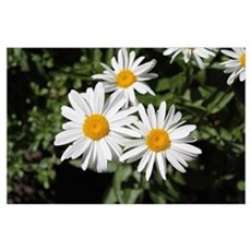 pretty pure white daisy flowers. Poster