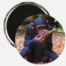 Young Chimp 03 Magnets