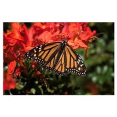 Honeysuckle Monarch Butterfly Beauty Poster