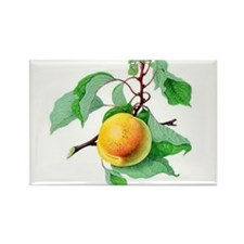 Apricot Magnets