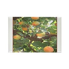 Apricots Magnets