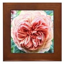 Peach Centrifolia Rose Framed Tile