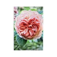 Peach Centrifolia Rose Rectangle Magnet