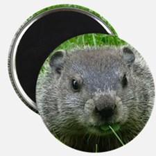 Woodchuck eating Magnets
