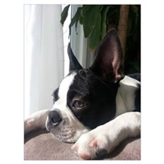 Thoughtful Boston Terrier Poster