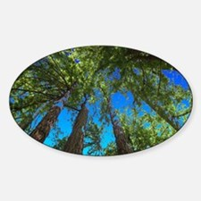 Muir Woods treetops Decal