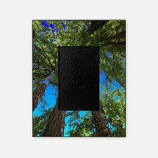 Muir Woods treetops Picture Frame