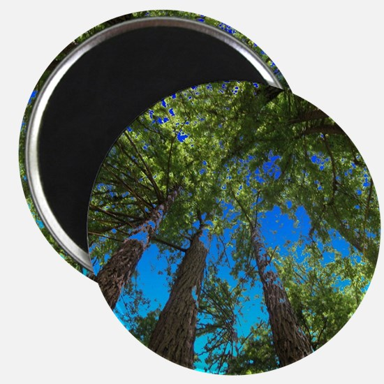 Muir Woods treetops Magnets