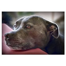 Loving Pitbull Eyes Framed Print