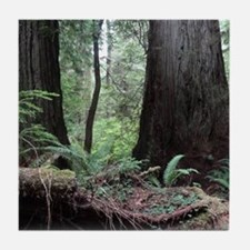 Coast Redwoods Rainforest 03 Tile Coaster