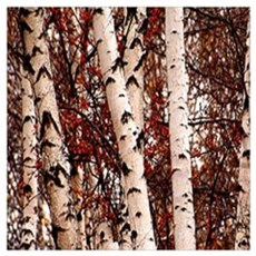 fall landscape birch tree Poster