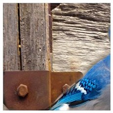 rustic barn wood blue jay Poster