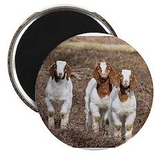 Cute Baby goats Magnet
