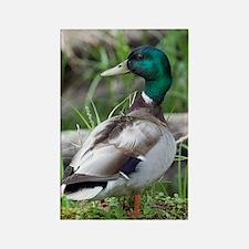 Mallard Duck Rectangle Magnet
