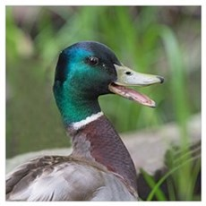 Mallard Duck Poster