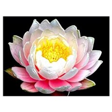 Pink Porcelain Water Lily Poster