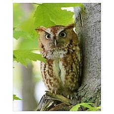Red Sreech Owl Poster