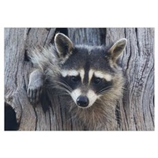 Raccoon in a Tree Canvas Art
