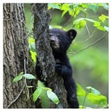 Black bear cub Framed Prints