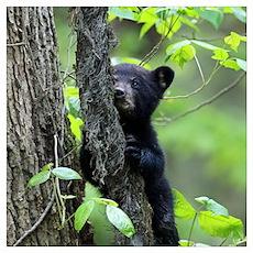 Black Bear Cub Poster