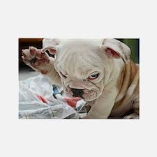 Funny English Bulldog Puppy Magnets