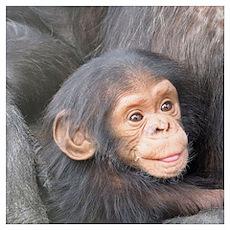 baby Chimpanzee Poster