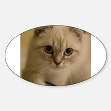 scottish fold kitten Decal
