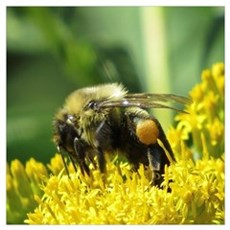 Bee with Pollen sacs Poster