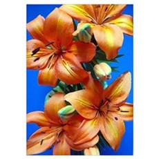 Orange tiger lilies Poster