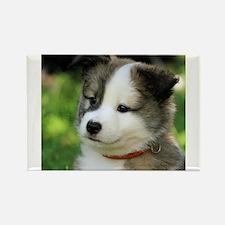 IcelandicSheepdog-Puppy Fengur Magnets