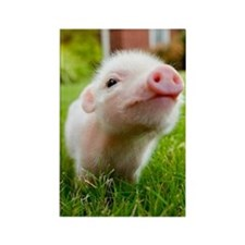 Baby Pig Rectangle Magnet