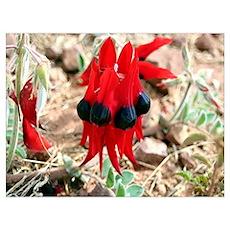 Sturt's Desert Pea Wildflowers Poster