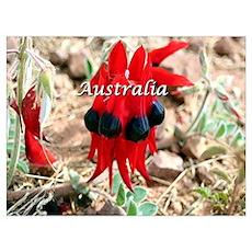Sturt's Desert Pea, Australia (caption) Poster
