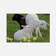 Three Baby Sheep Magnets