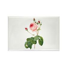 Pink Vintage Rose, Rosa Centifolia Magnets