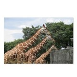Giraffe Postcards