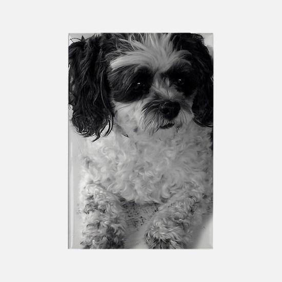 Black Gray White Shih Tzu Poodle  Rectangle Magnet