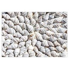 White seashells Poster