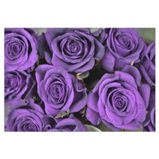 Purple Roses Framed Print