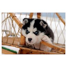 Husky puppy 2 Poster
